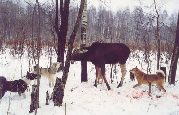 всем как натоскать собаку на лося российских