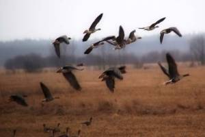 гуси над полем