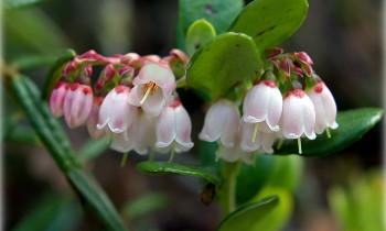 цветки брусники