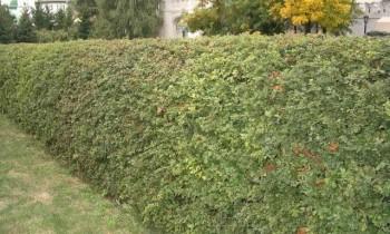боярышник в качестве изгороди