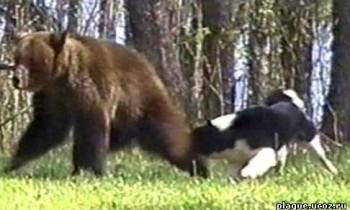 Лайка и медведь