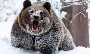 Медведи начали просыпаться и выходит из берлог.