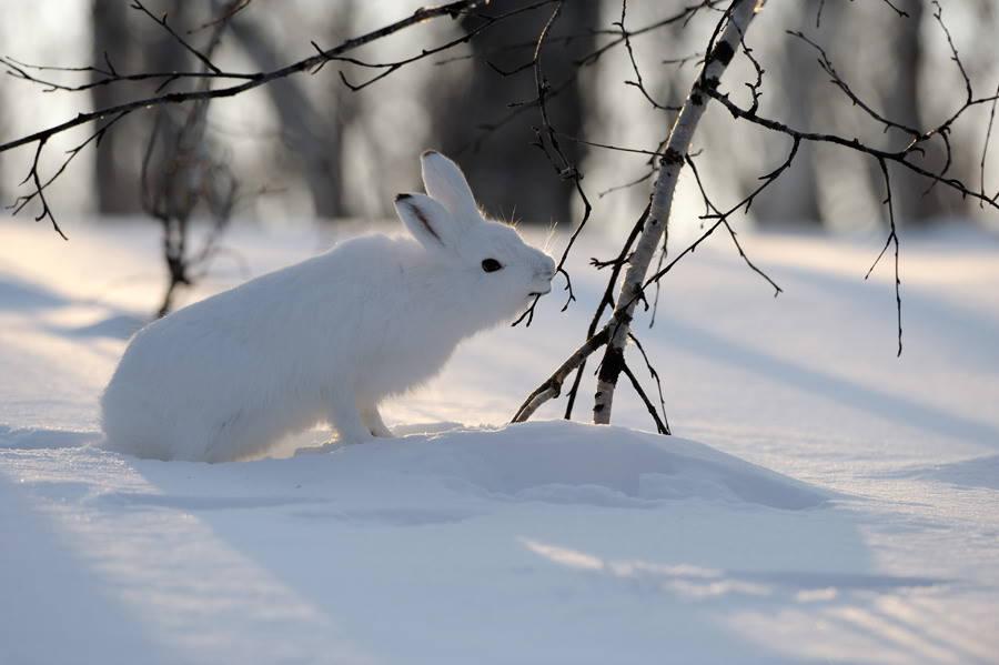 заяц беляк зимой - для охоты зимой лучше увеличить размер дроби