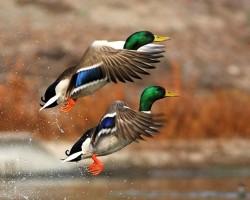 Сроки открытия весенней охоты 2016