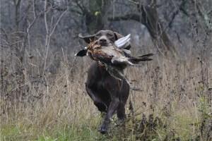 легавая с фазаном