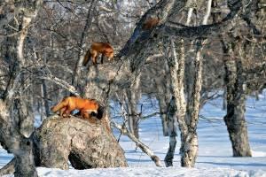 Лисы на дереве