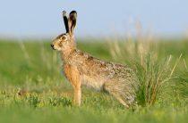 Заяц-русак — Lepus europaeus
