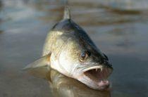 Судак — Рыбы Вятки