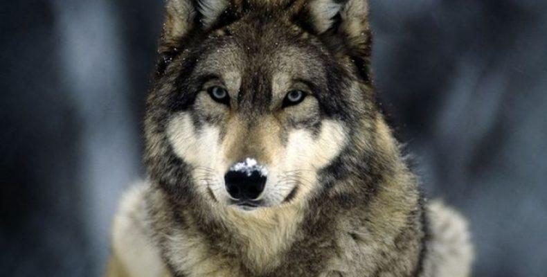 Волк — Canis lupus