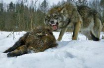 На севере области свирепствуют волки.