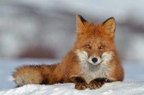 Обыкновенная лисица — Vulpes vulpes