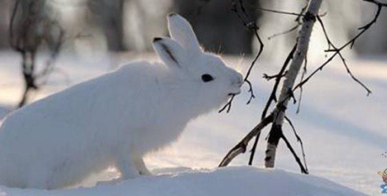 Заяц в Слободском