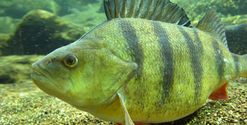 Окунь — Рыбы Вятки