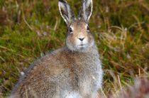 Заяц-беляк — Lepus timidus