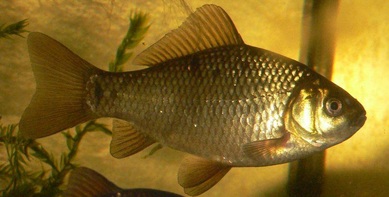 Карась — Рыбы Вятки