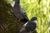 Сизый, или скалистый голубь — Columba livia