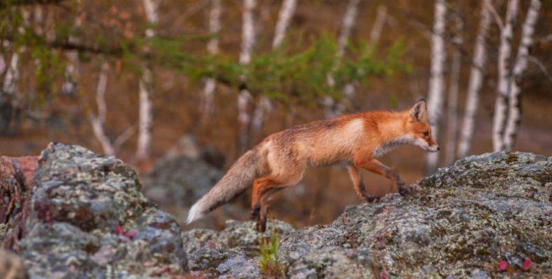 Особенности норной охоты на лис