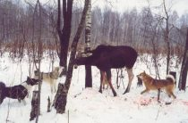 Охота на лося с подхода с лайкой