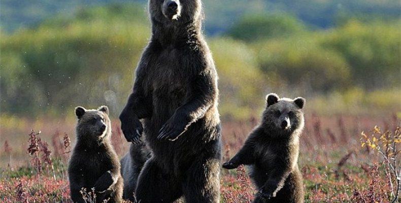 Памятка человеку при встрече с медведем