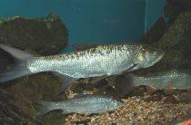 Жерех — Рыбы Вятки