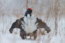 Охота на тетерева на лунках зимой с подхода