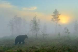 медведь на болоте в алтайском крае