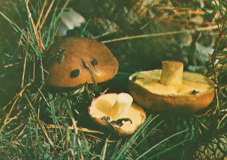 Маслята (Suillus). Описание, распространение и виды маслят
