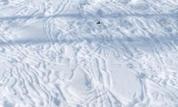 Чертежи глухаря на снегу