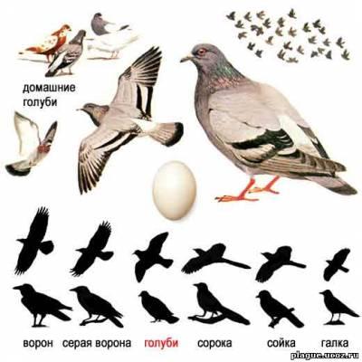 Сизый, или скалистый голубь