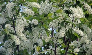 цветы черемухи