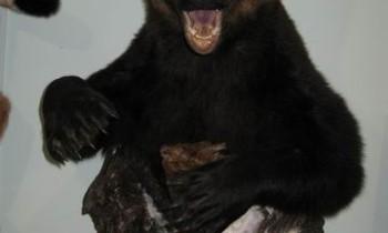 медведя по грудь