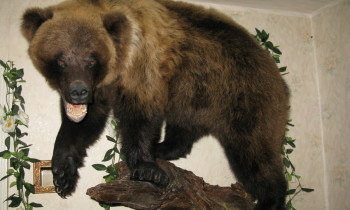 Чучело медведя на ветке