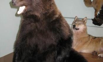 молодой медведь чучело