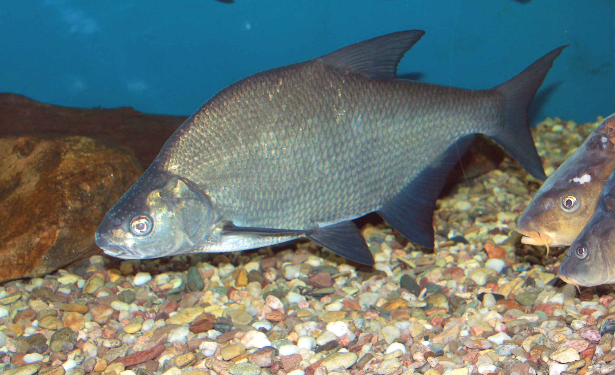 Все картинки рыб казахстана
