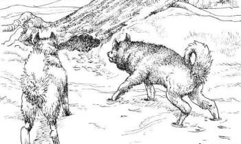 Обнаружив зверя, лайки стараются выгнать его наружу