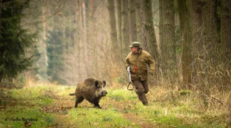 кабан нападает на охотника
