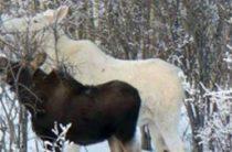 Открытие охоты на лося