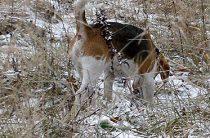 Подготовка собаки к охоте: нагонка