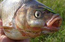 Язь — Рыбы Вятки
