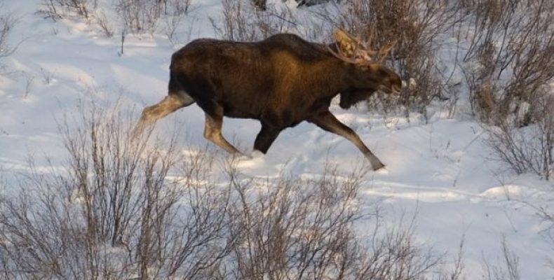 Охота на лося с подхода