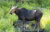 Браконьеры в Слободском подстрелили лося
