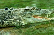 Крокодил охотился на рыбаков
