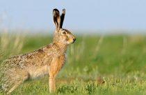 Нашествие зайцев