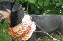 В Кирове прошла выставка охотничьих собак