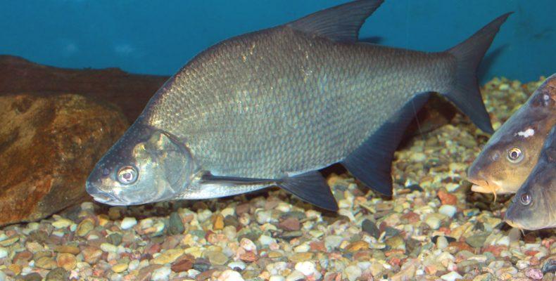 Лещ — Рыбы Вятки