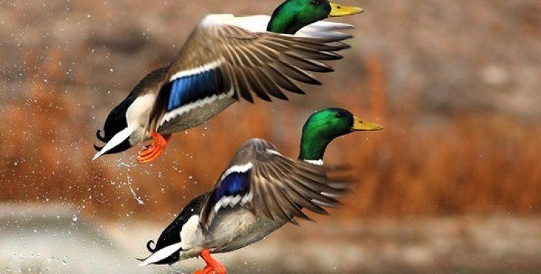 Весенняя охота 2020: сроки открытия по регионам России