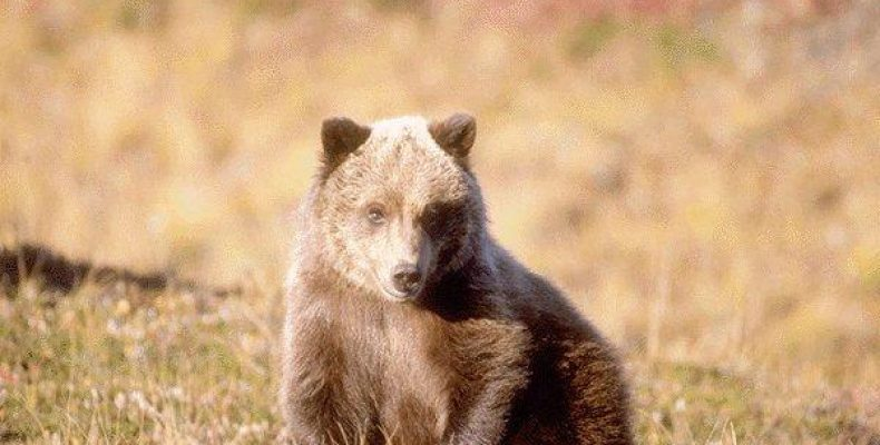 Медведь. Охота на овсах.