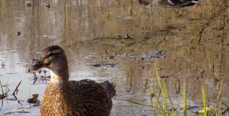 Весенняя добыча селезней с подсадной уткой: основные моменты