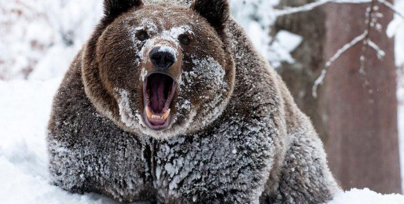 Медведи начали просыпаться и выходит из берлог