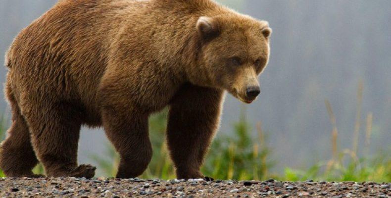 Бурый медведь — Ursus arctos
